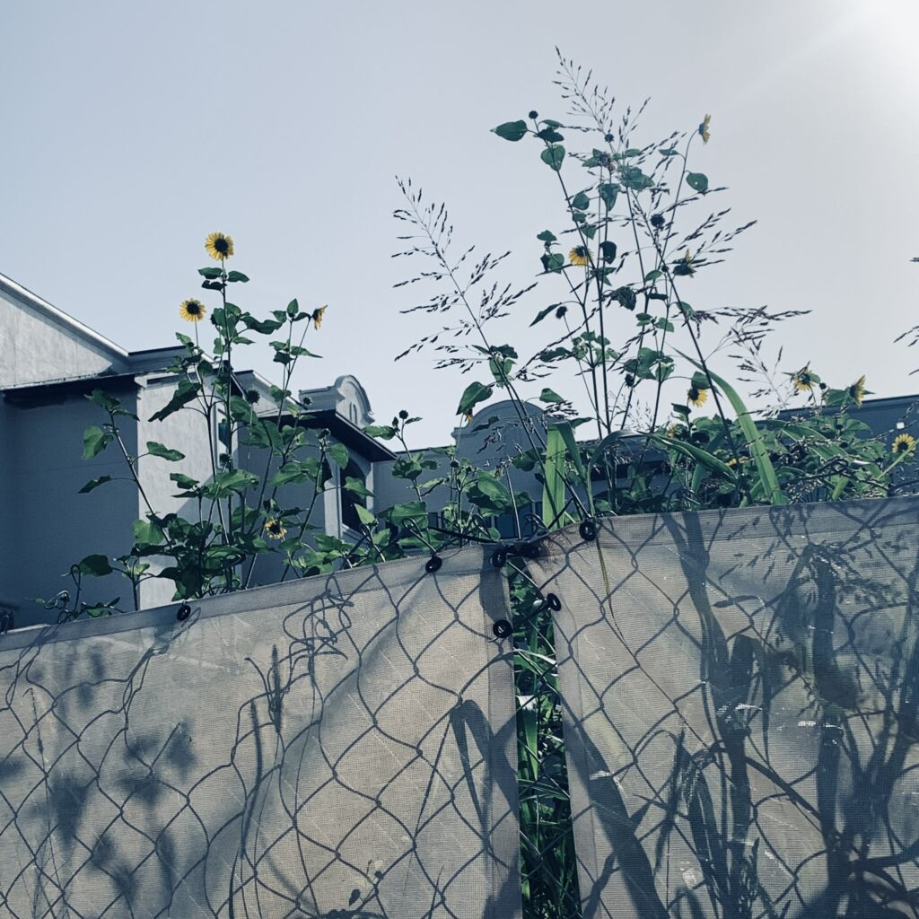 I pass by this construction site when I take my walks. The sunflowers and other flowers have recently appeared above the fence.